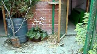 Download Common Nightingale- Luscinia Megarhynchos