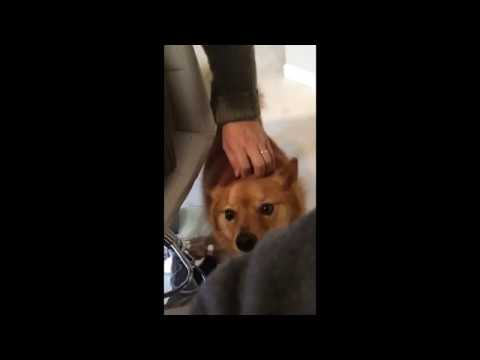 Finnish Spitz dog needs attention
