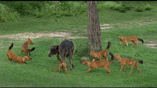 Wild Dog Packs of the Indian Forest (Nature Documentary)