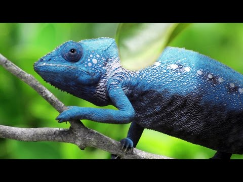Chameleon Changing Color thumbnail