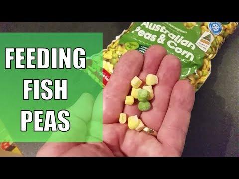 FEEDING TROPICAL FISH - Peas