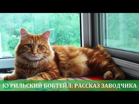 Курильский бобтейл рассказ заводчика