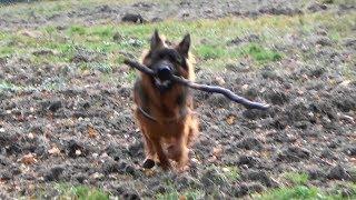 German Shepherd's chasing sticks/Owczarek Niemiecki goni za kijami