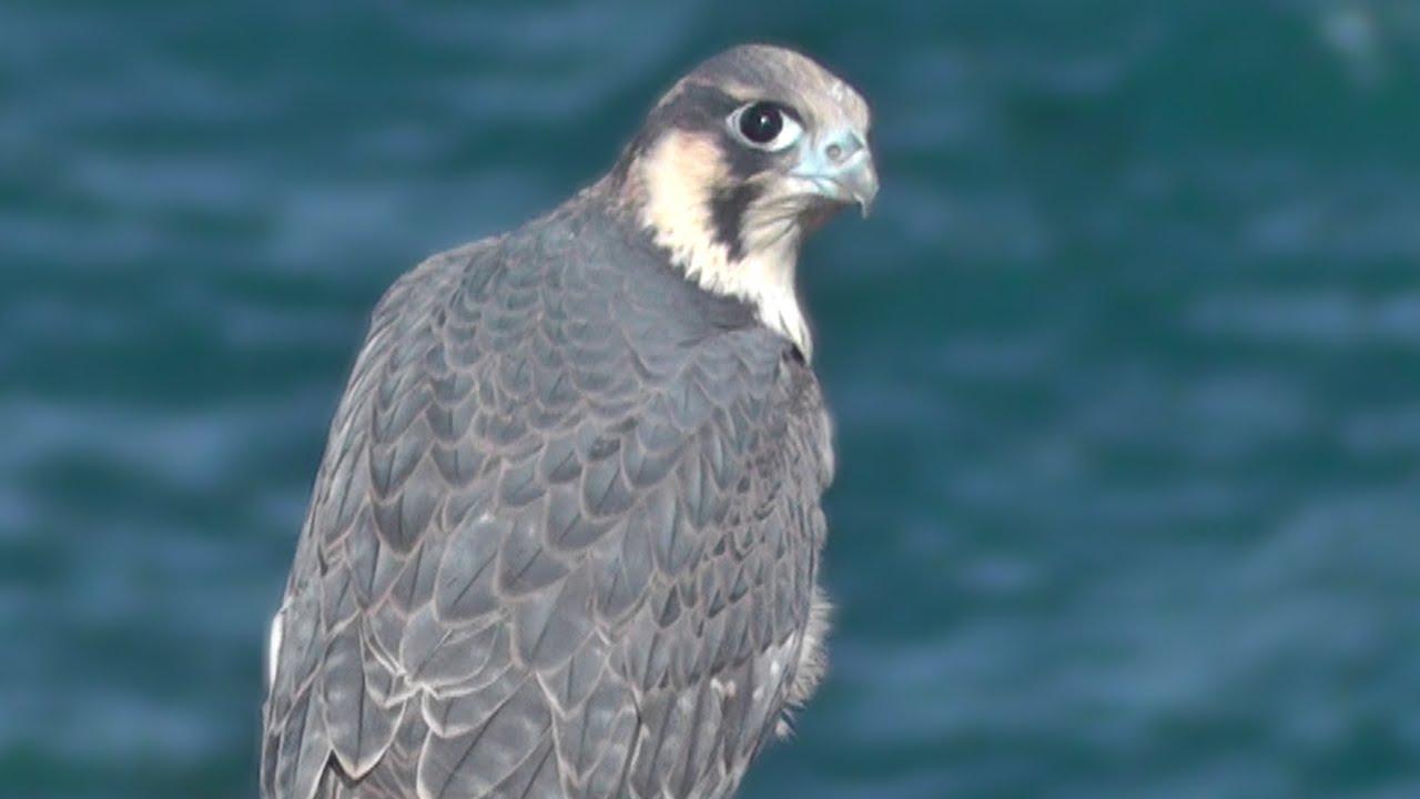 2e523efc Peregrine Falcon - Birds of Prey in Cornwall