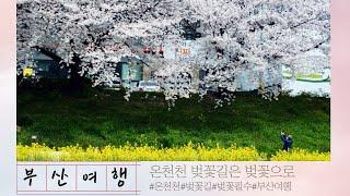 [부산조은길  20코스] 2020년 벚꽃핀 온천천