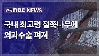 봉화 옥돌봉 국내 최고령 철쭉나무 외과수술 / 안동MB…