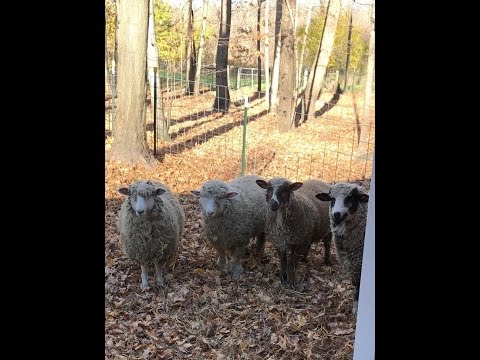 Episode 6: CVMS and Merinos at Never Say Never Farm in Alto, MI