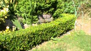 Box Or Buxus Sempervirens