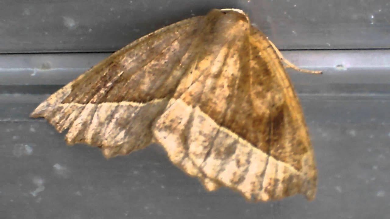 Papillon de nuit du qu bec youtube - Gros papillon de nuit dangereux ...