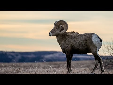 Moose, Elk And Bighorn Sheep Lottery - NDGNF