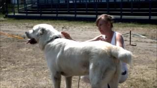 Выставка среднеазиатских овчарок, кобели