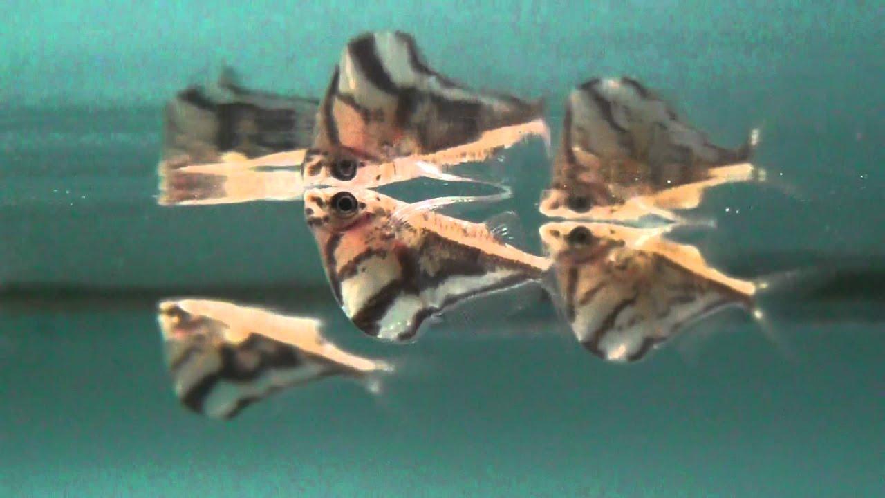 Marbled Hatchetfish (carnegiella strigata) for sale at Tyne Valley ...