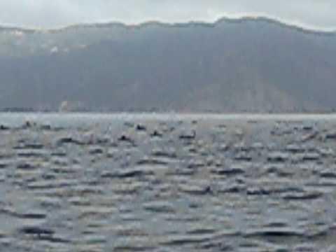 Dolphin escort from Catalina Island