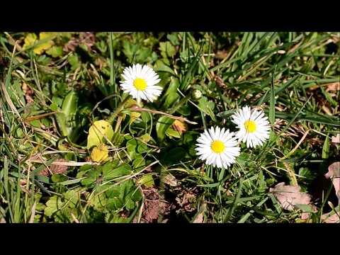 essbare (Heil-) Pflanzen:  Scharbockskraut, Gänseblümchen, Huflattich