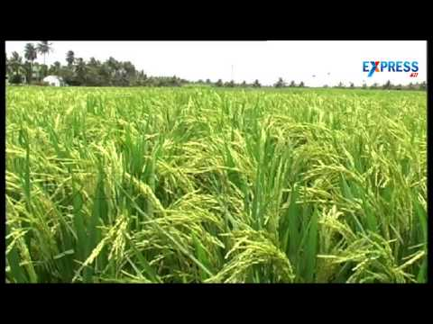 Success story of a farmer in Paddy cultivation by Organic farming | Paadi Pantalu
