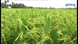 Success story of a farmer in Paddy cultivation by Organic farming   Paadi Pantalu