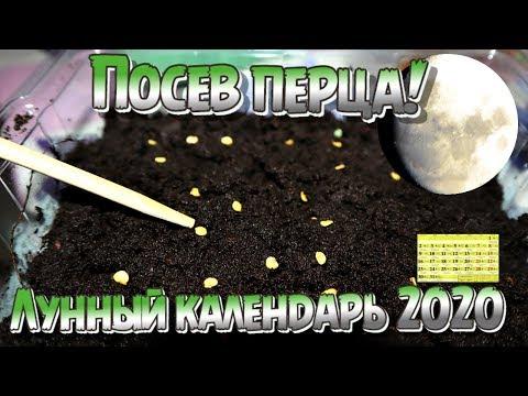 В 3 раза больше урожая перца при посеве в этот день! Лунный календарь посева перца в 2020 году!