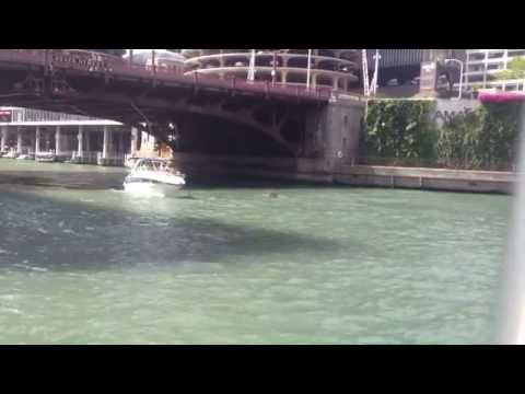 a hippo in the Chicago river?