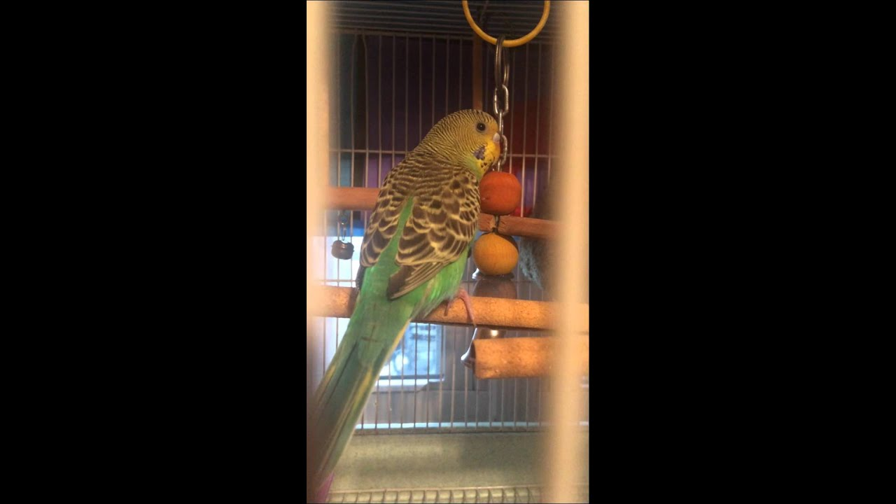 Bringing Home Your Budgie