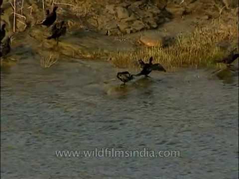 Pong dam- Hub of local and migratory birds