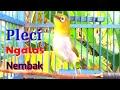Pleci Ngalas Wit Wit Zipper Panjang Suara Nembak Cocok Buat Masteran Nalela Kicau  Mp3 - Mp4 Download
