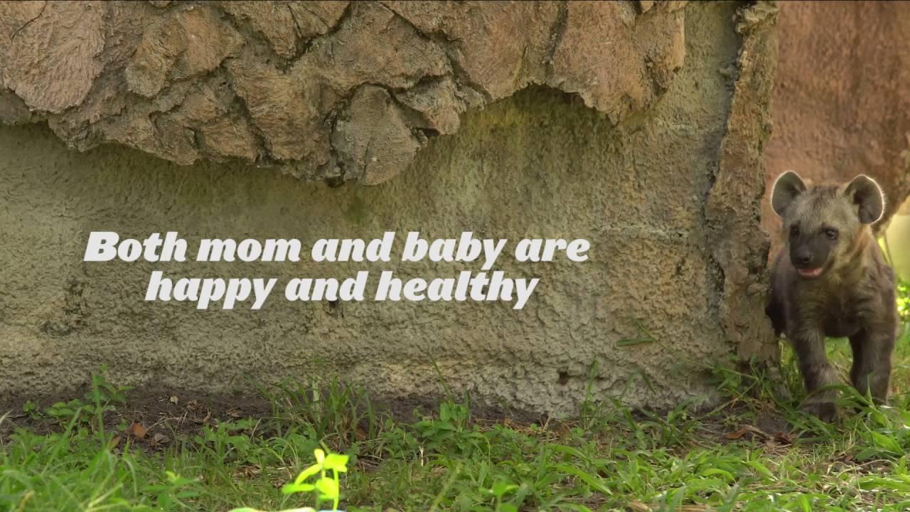 Meet Mandazi, a spotted hyena cub! | Busch Gardens Tampa Bay - YouTube