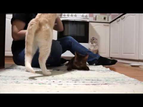 4 months old somali kitten does tricks
