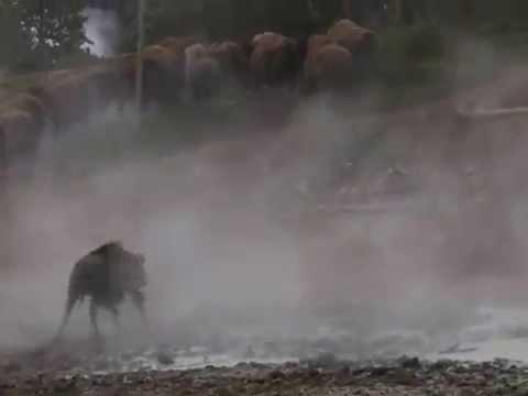 Yellowstone Mud Volcano - Bison Panic from Too Close Humans