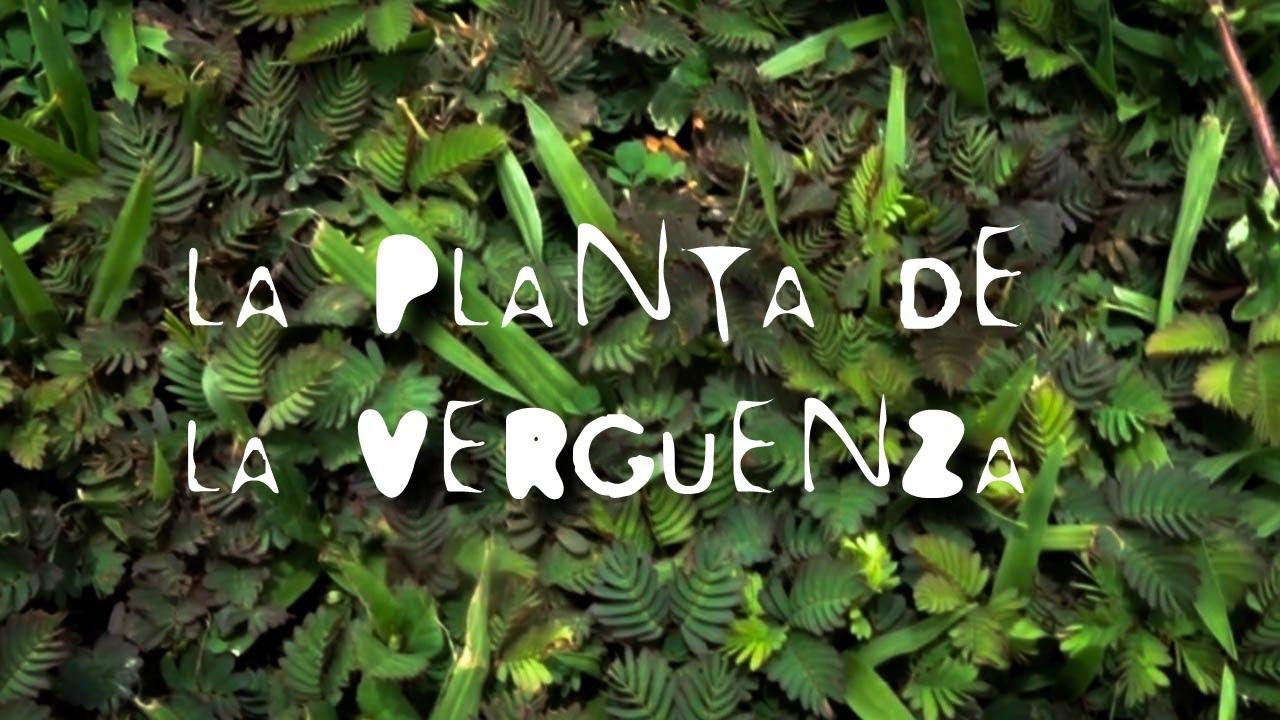 Verguenza Planta