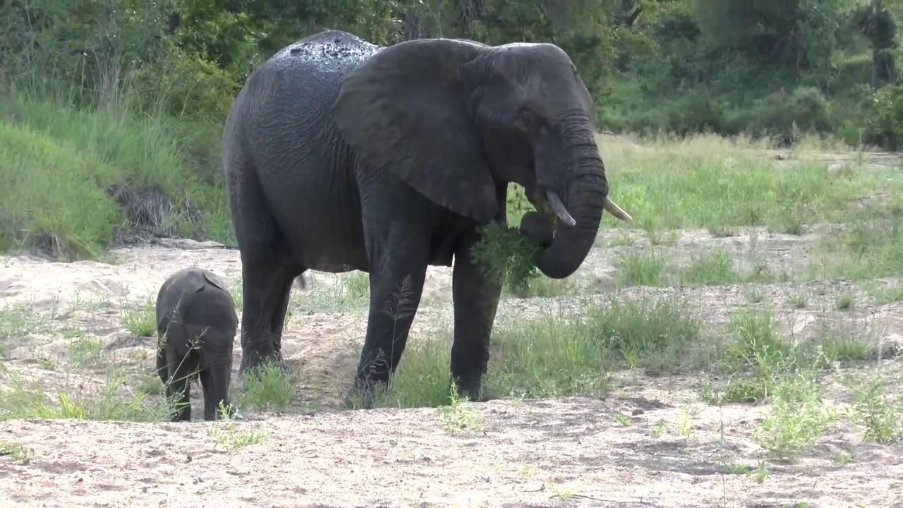 Baby Elephant playing - Kruger National Park - YouTube