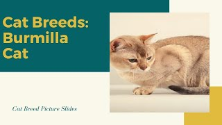 Burmila Slides  Cat Breeds