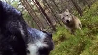 Wolf Attack on Swedish Hunting Dog - GOPRO - Caught on Cam