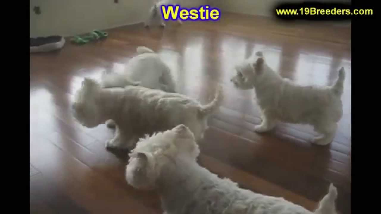 West Highland White Terrier, Westie, Puppies, Dogs, For ...