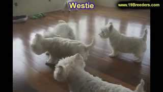 West Highland Terrier, Puppies, For, Sale, In, Lexington, County, Kentucky, Ky, Bowling Green, Owens