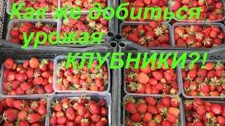 Как же добиться урожая КЛУБНИКИ?!(Как же добиться урожая КЛУБНИКИ?!, 2015-06-28T00:06:47.000Z)