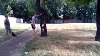 Фокстерьер залез на дерево