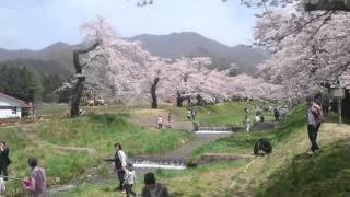 観音寺川桜まつり2016
