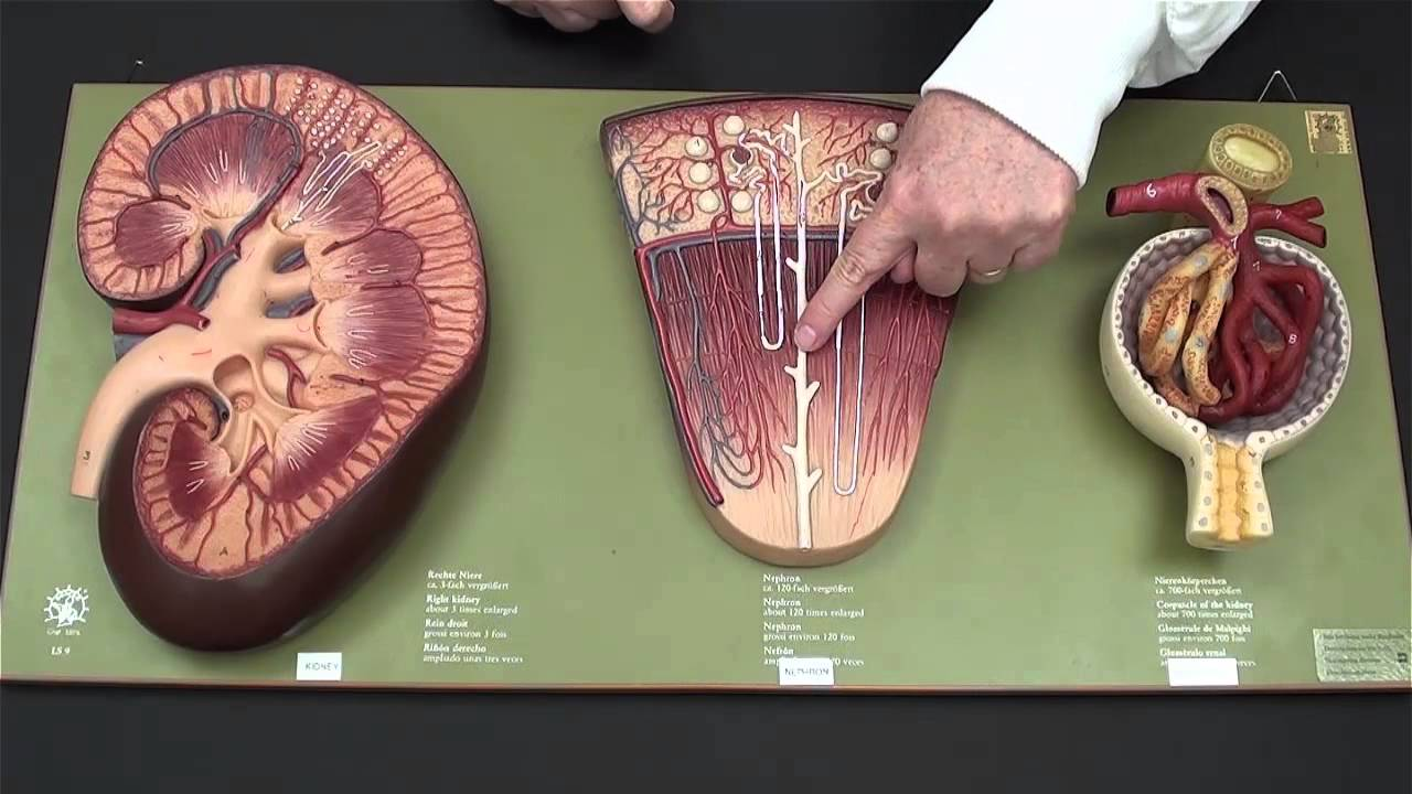 Kidney Model - YouTube