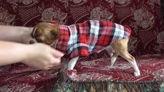 Одежда для щенка чихуахуа.Примерка одежды щенку
