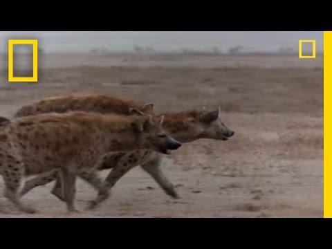 Hyena vs. Cape Buffalo | National Geographic