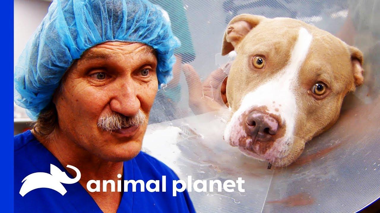 Download Vet Team Work Hard To Save Dog Bitten By Rattlesnake | Dr. Jeff: Rocky Mountain Vet