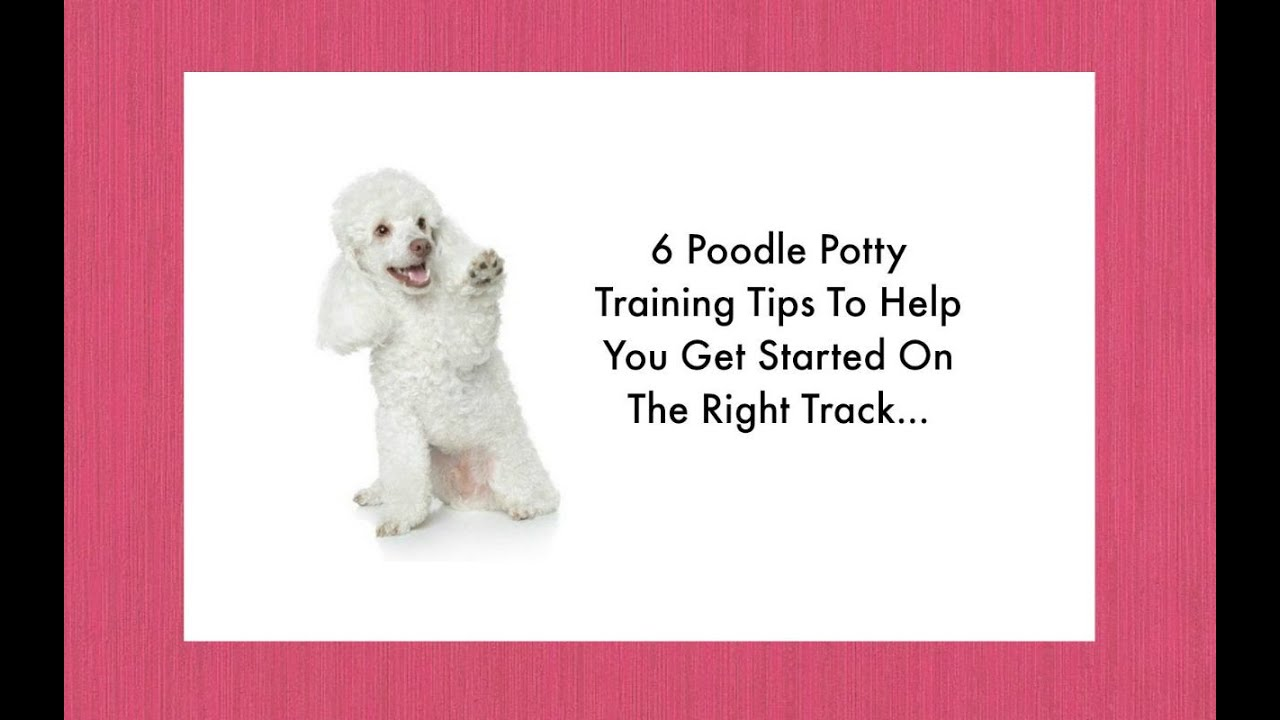 potty training your poodle puppy 6 poodle housebreaking