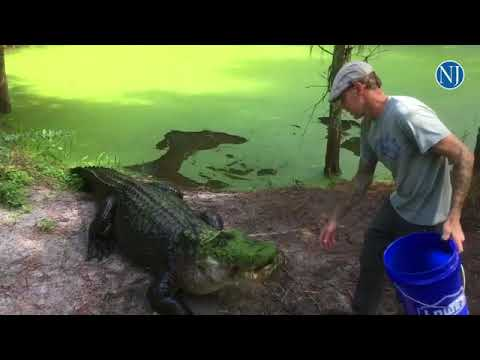 Nathan Sweeting shows off 'Trapper' a 13 foot Florida Gator at Smooth Waters Wildlife Park in DeLeon
