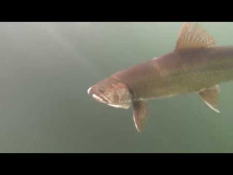 MONSTER Lake Trout Caught Ice Fishing At Fish Lake Utah 2019!!! ( With Underwater Footage!!!)