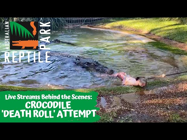 LIVE: CROCODILE ATTEMPTS A DEATH ROLL   AUSTRALIAN REPTILE PARK