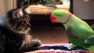 Попугай передразнивает кота