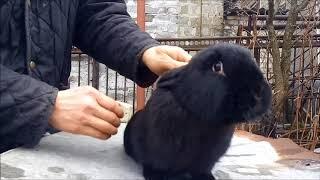 смотрите, как легко вы можете подготовить крольчиху к спариванию!!!