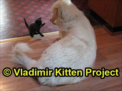 Tiny kitten wrestles big dog (and goes after his butt!)