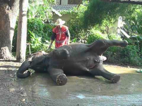 Elephant In Chiang Mai Thailand Gets Good Scrubbing