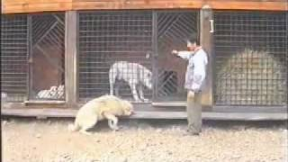 Алабай подчиняет волков